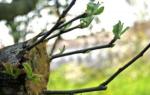 Как привить яблоню весной на старое дерево?