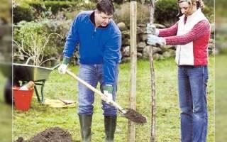 Как правильно сажать саженцы плодовых деревьев осенью?