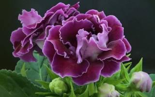 Цветок похожий на глоксинию
