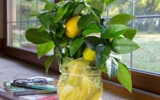 Как реанимировать лимонное дерево?