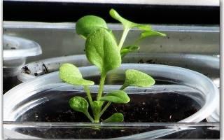 Пикировка рассады петунии – несколько важных правил молодым садоводам