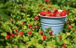 Как получить хороший урожай клубники на даче?