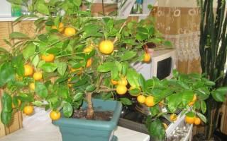 Чем обработать мандариновое дерево?