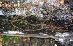 Укрывание винограда на зиму в средней полосе