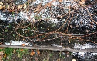 Виноград на зимовку в средней полосе России