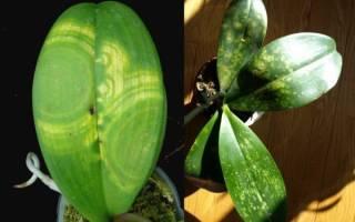 Черные пятна на листьях орхидей что делать