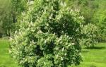 Как сажать каштановое дерево?