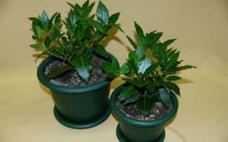 Как посадить лавровое дерево?