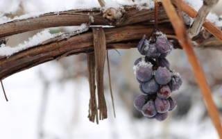 Подготовка виноградной лозы к зиме в Сибири