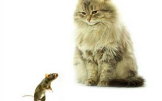 Как убить крысу на даче?
