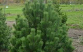 Как правильно посадить саженец сосны осенью?