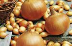 Лук Стурон – характеристика проверенного голландского сорта