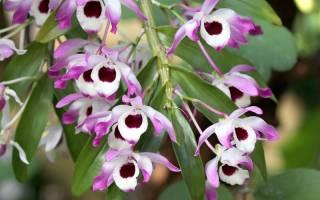 Орхидея дендробиум нобиле белый уход в домашних условиях