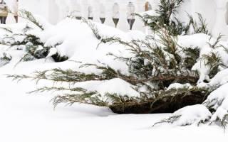 Укрытие можжевельника на зиму в средней полосе