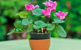 Значение цветка цикламен