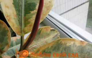 Белые пятна на листьях фикуса