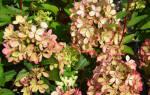 Гортензия метельчатая пастель грин