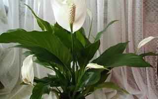 Комнатный цветок женское счастье болезни листья пожелтели