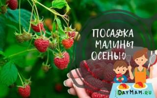 Осенняя посадка малины в Сибири