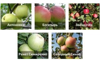 Как хранить яблоки в земле на даче?