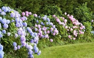 Гортензия сроки цветения