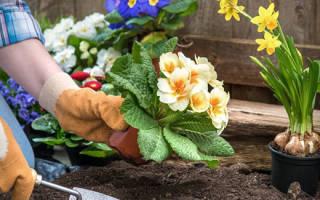 Когда лучше пересаживать цветы на даче?