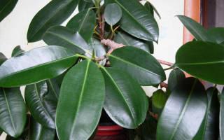 Как размножить фикус каучуконосный в домашних условиях