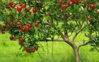 Как правильно выбрать саженцы яблони?
