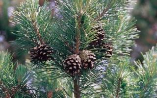 Как вырастить из шишки сосны дерево?