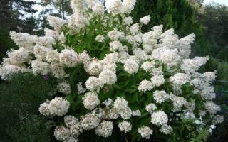 Гортензия грандифлора метельчатая посадка и уход