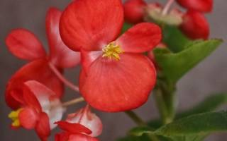 Бегония когда цветет
