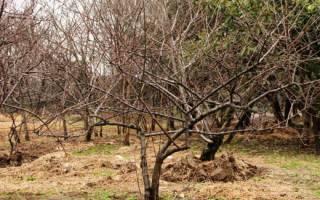 Как укрыть молодые саженцы вишни на зиму?