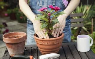 Можно ли в новолуние пересаживать комнатные цветы