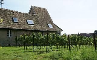 Как посадить виноград на даче?