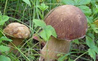Как развести грибы на дачном участке?