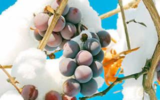 Укрытие саженцев винограда на зиму пластиковыми бутылками