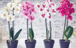 Как правильно обрезать орхидею при пересадке