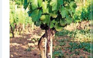 На какую глубину сажать саженец винограда?