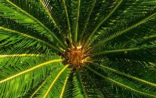Цветок комнатный как пальма