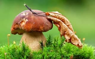 Как посадить мицелий белого гриба на даче?