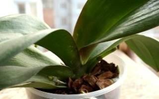Орхидея фаленопсис что делать когда отцвела