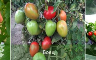 Сорта помидор для Сибири без пасынкования