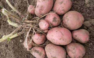 Новые сорта картофеля для средней полосы