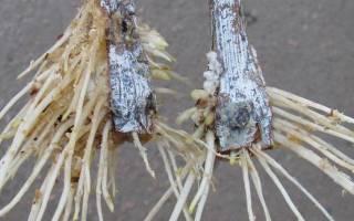 Кильчевание черенков винограда – обеспечиваем стопроцентную приживаемость саженца