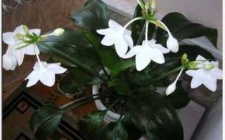 Комнатный луковичный цветок с длинными узкими листьями