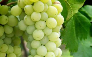 Вино из винограда средней полосы