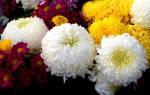Когда сажать многолетние цветы на даче?