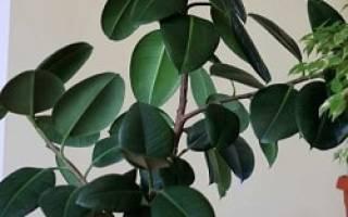 Фикус каучуконосный желтеют и опадают листья что делать
