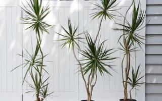 Комнатные цветы драцена – уход и выращивание по правилам