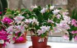 Комнатный цветок декабрист как ухаживать